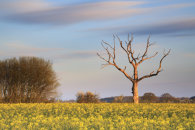 TREE IN OILSEED RAPE FIELD (Lonely Farm)