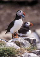 PUFFINS AND SAND EELS