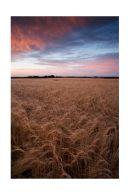 Corn field, Hatfield Peverel.