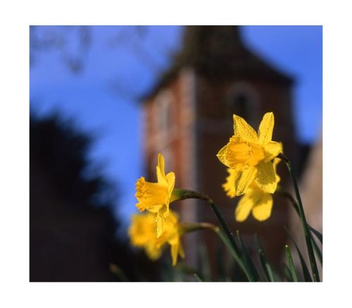 Daffodils at Terling.