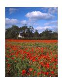 Langford poppy field.