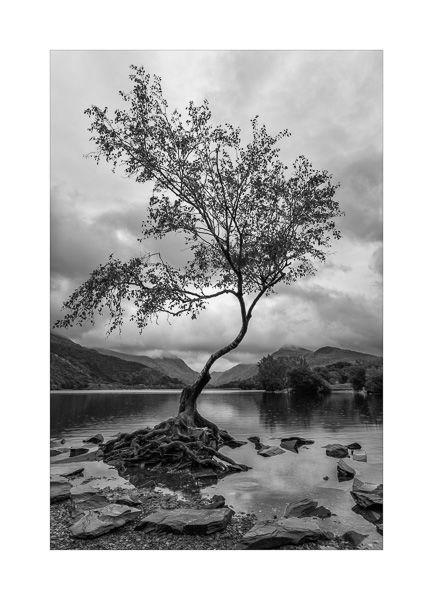 The lone tree, Llanberis, Wales.