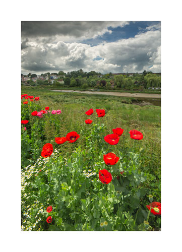 Poppies at Maldon