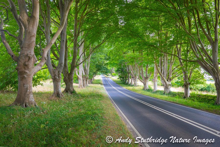 Beech Tree Avenue near Kingston Lacey,Dorset