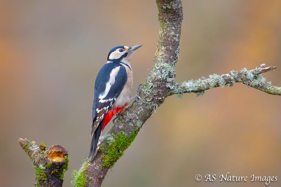Female Great Spotted Woodpecker climbing a small tree
