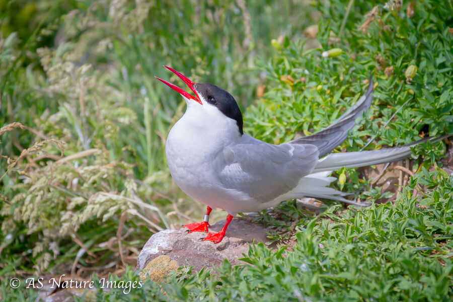 Arctic Tern Calling -2