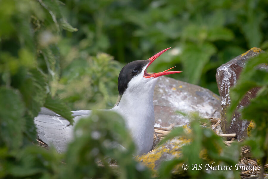 Arctic Tern Calling From its Nest