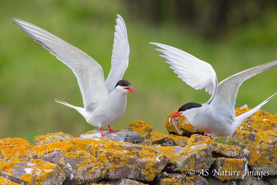 Arctic Tern Bringing a Sandeel to its Mate
