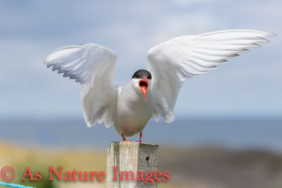 ARCTIC TERN CALLING FROM POST