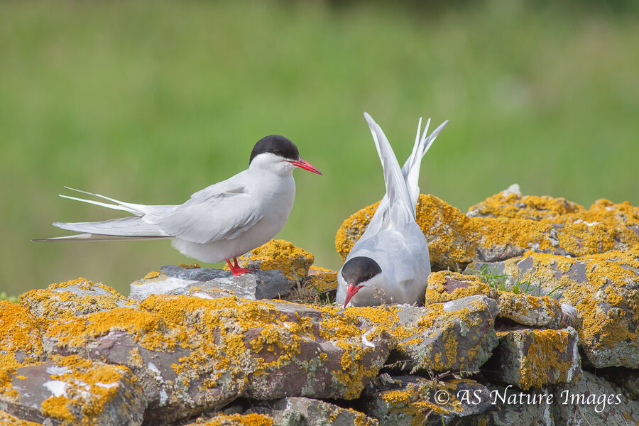 Arctic Terns at the Nest on an Old Wall