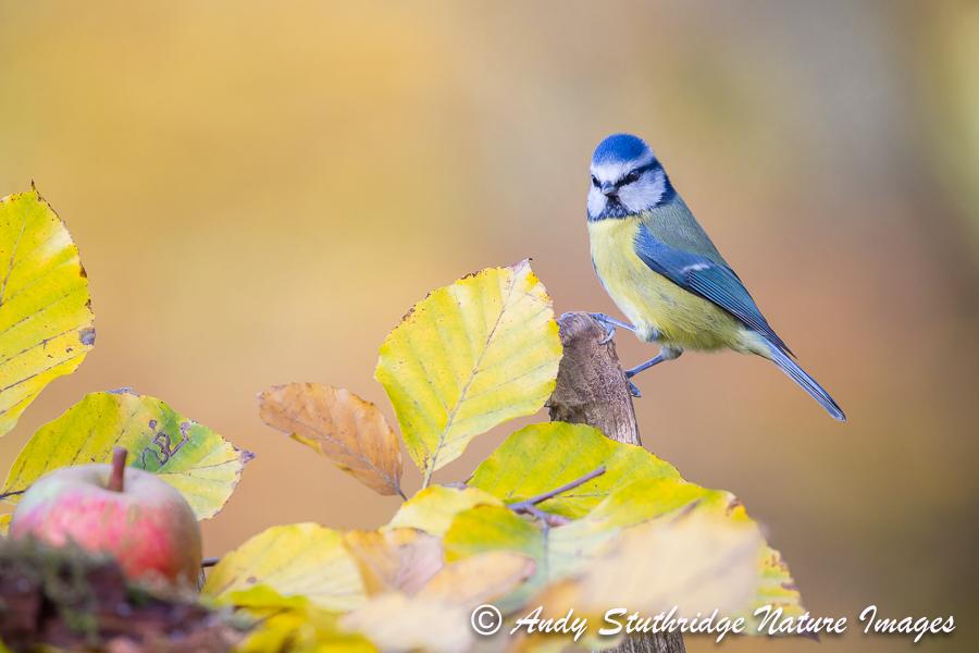 Autumn BlueTit