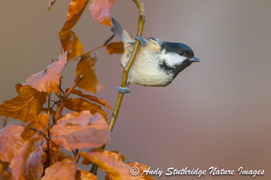Coal Tit and Autumn Leaves