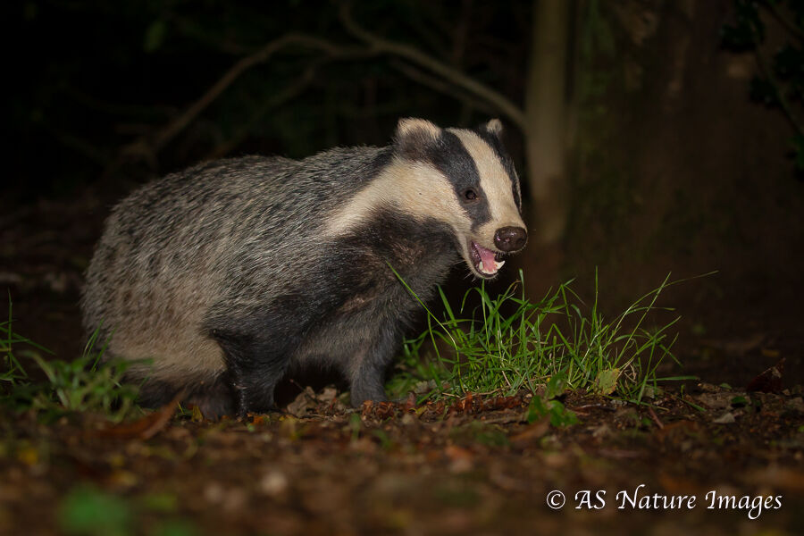 Badger Feeding