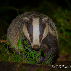 BADGER IN WOODLAND