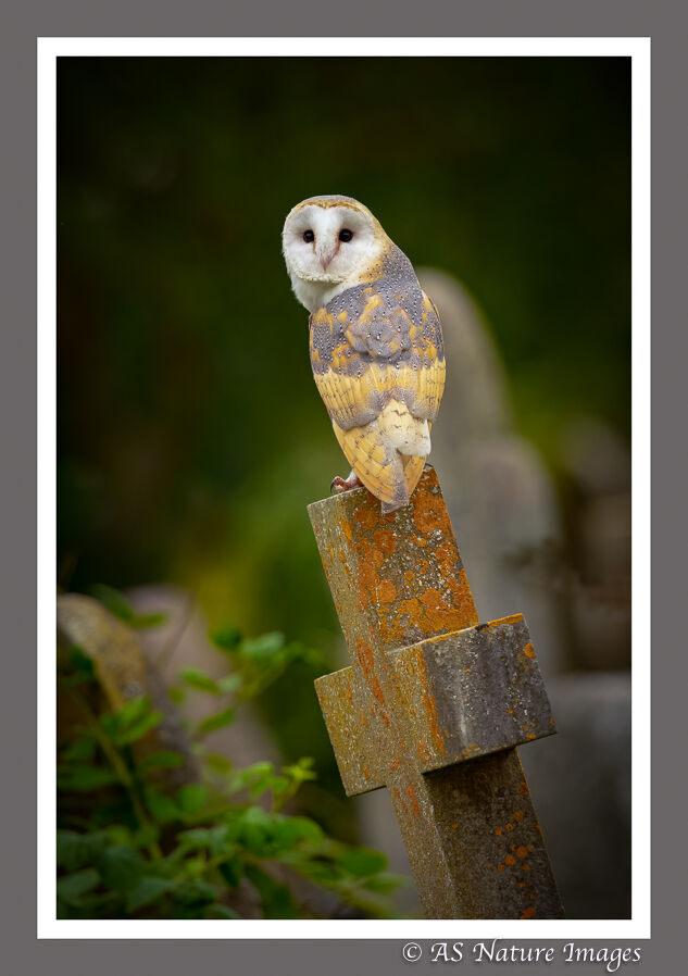 Barn Owl in Old Cemetery