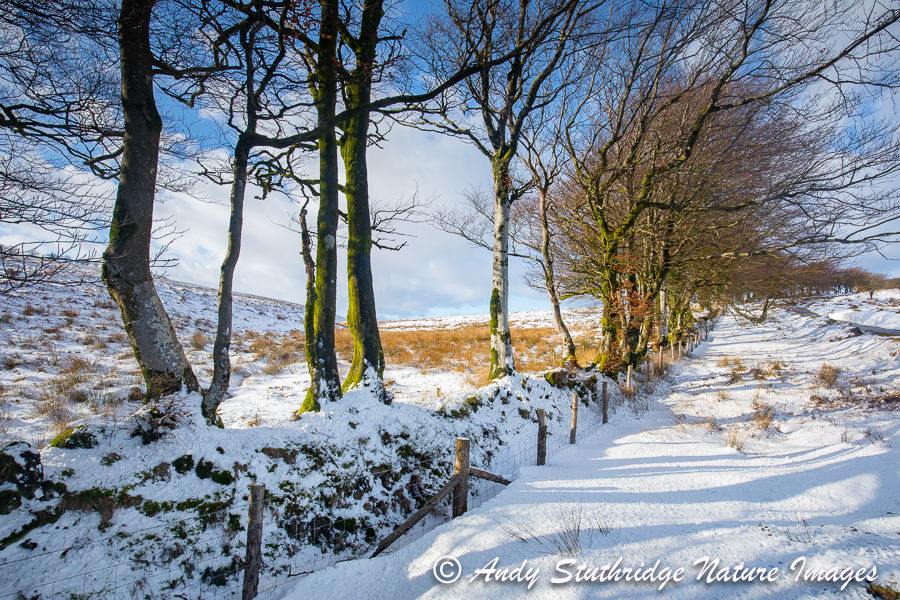 Beech Tree Boundary wall at Chetsford,Exmoor