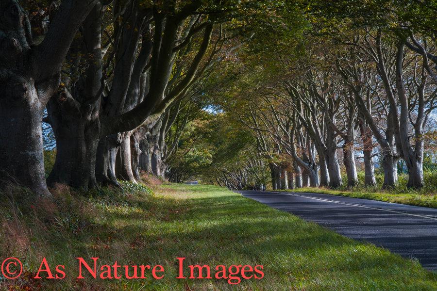 """BEECH TREES AT KINGSTON LACEY,DORSET"""