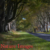 """BEECH TREES AT KINGSTON LACEY,DORSET"""