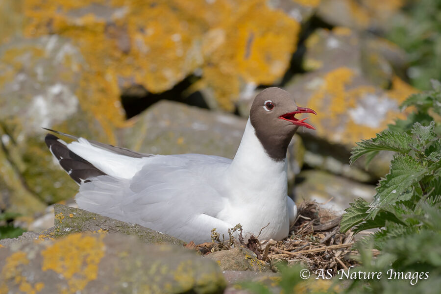 Black Headed Gull on Nest