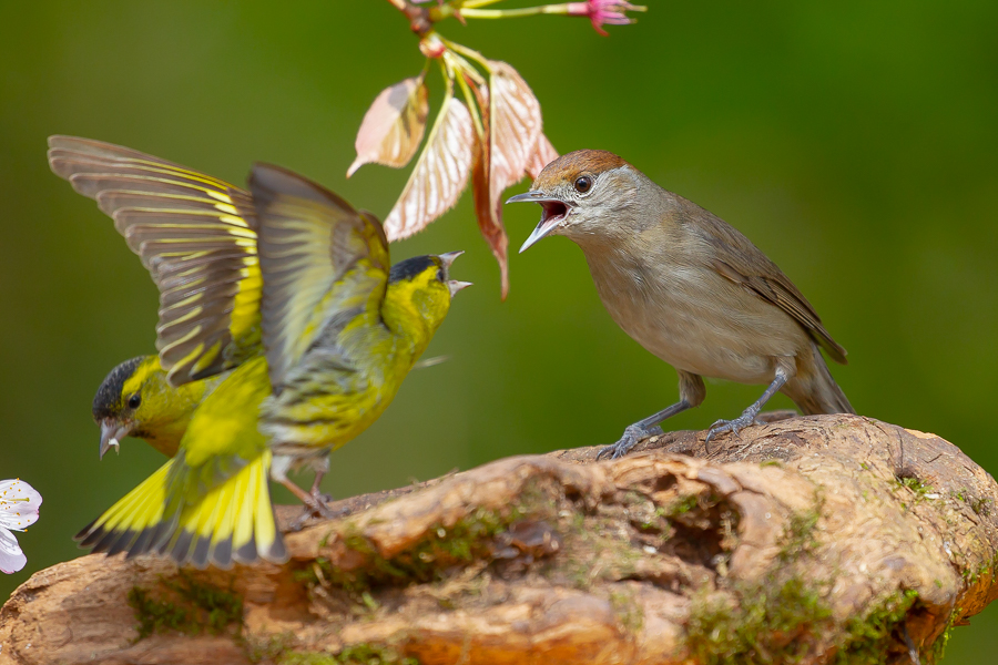 Female Blackcap Squabbling with Male Siskin
