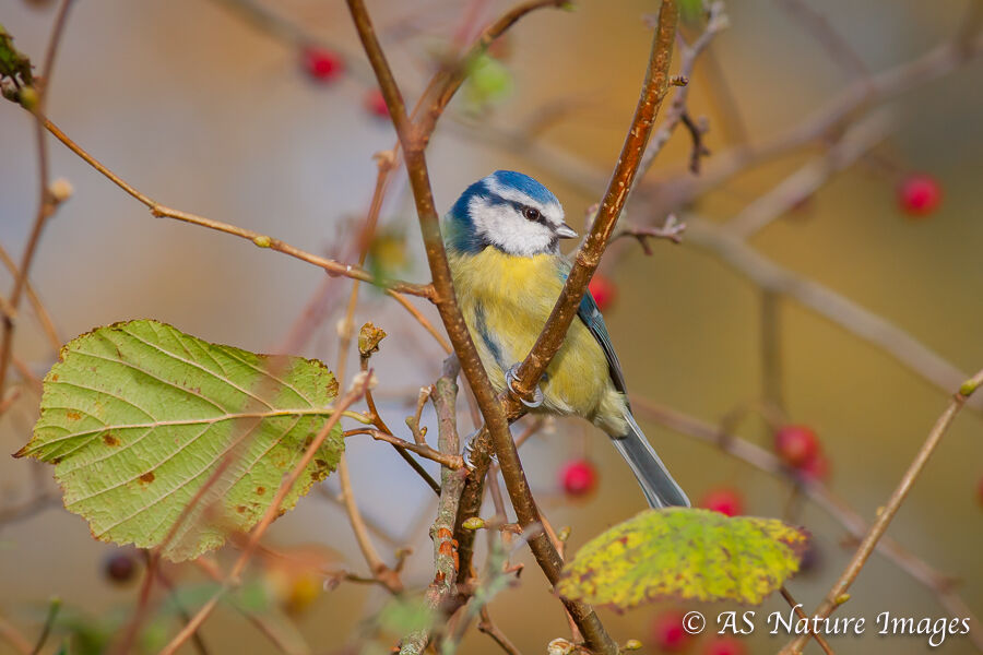 Autumn BlueTit