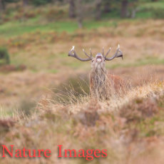 BOLVING STAG ON HILLSIDE