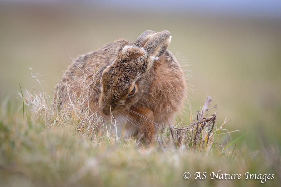 Brown Hare Cleaning Itself
