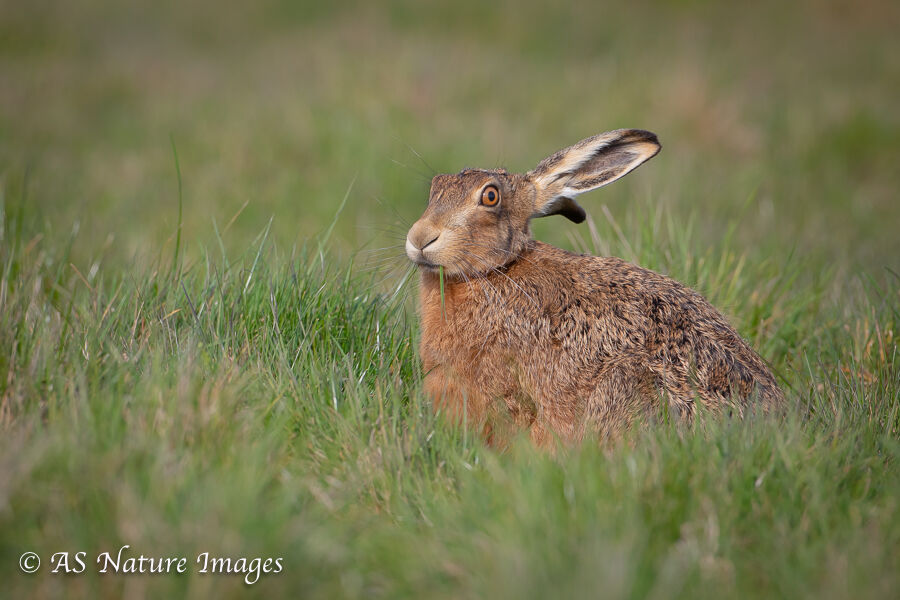 Brown Hare Feeding in Evening Light
