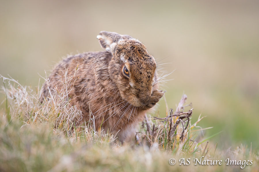 Brown Hare Preening