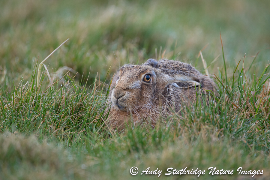 Brown Hare Lying in its Form