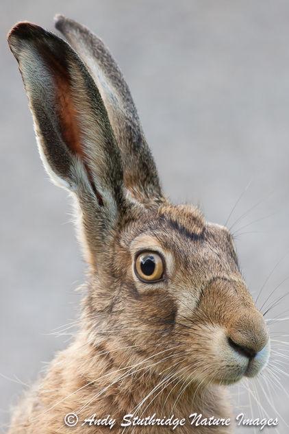 Brown Hare Portrait