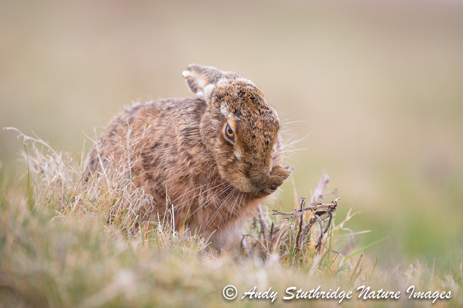 Brown Hare Preening 2