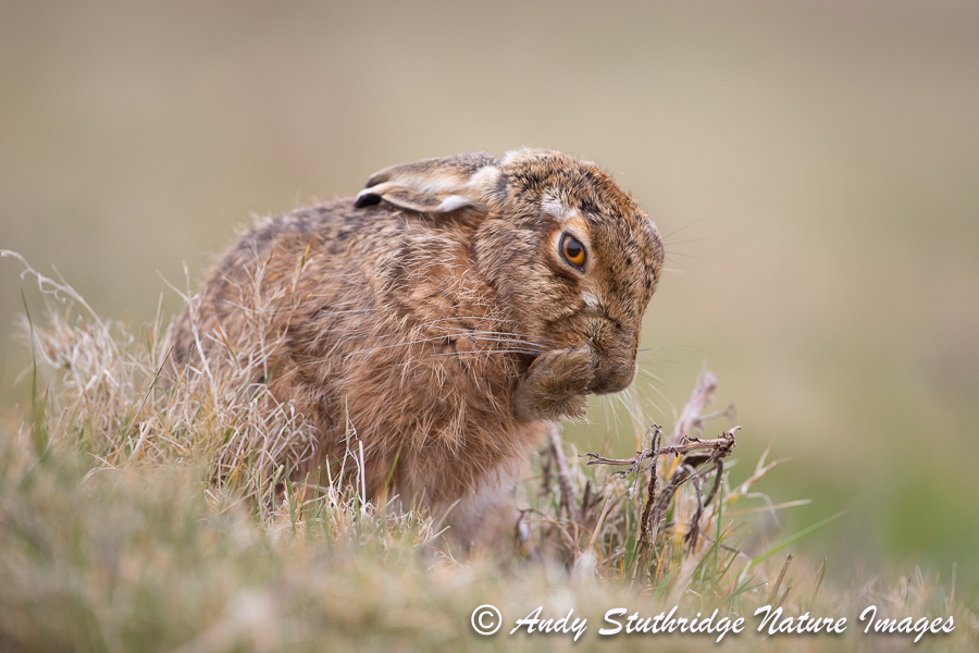 Brown Hare Cleaning