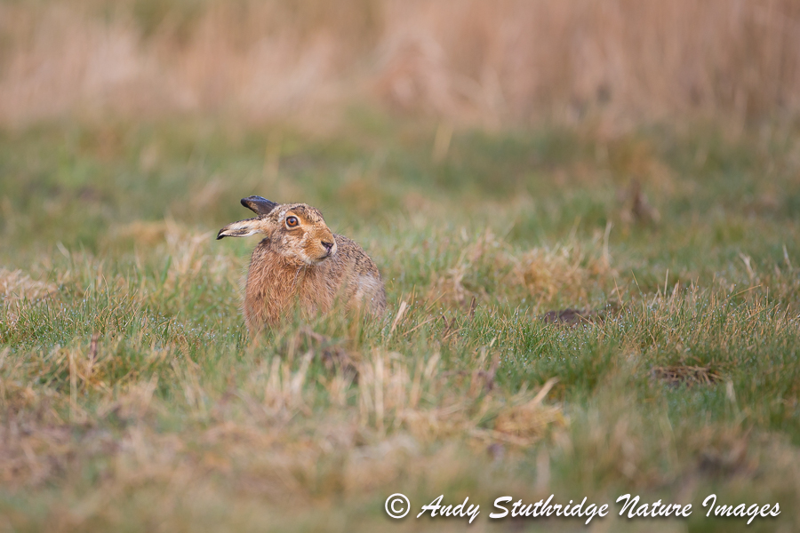 Brown Hare in Field