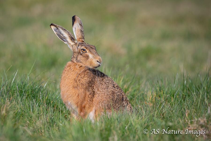 Brown Hare Feeding Sitting in a Field