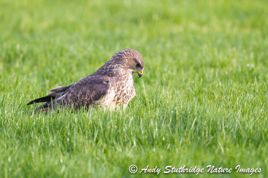 Buzzard in Field