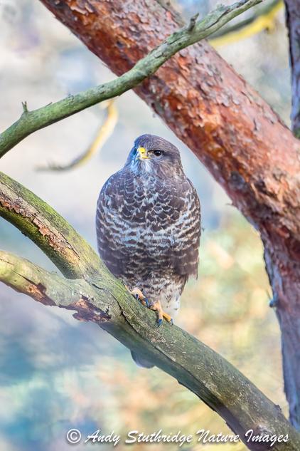 Buzzard in Scots Pine