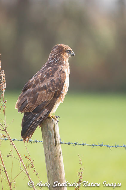 Buzzard on Wooden post in Close-up