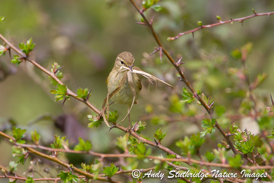 Chiffchaff with Nesting Material