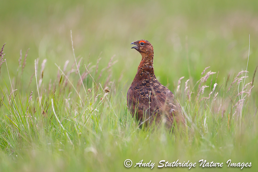 Cock Red Grouse Calling in Long Grass