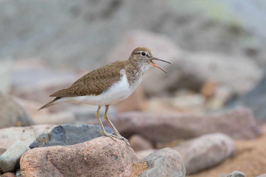 Common Sandpiper Calling on Riverbed