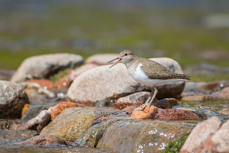 Common Sandpiper on Upland Stream