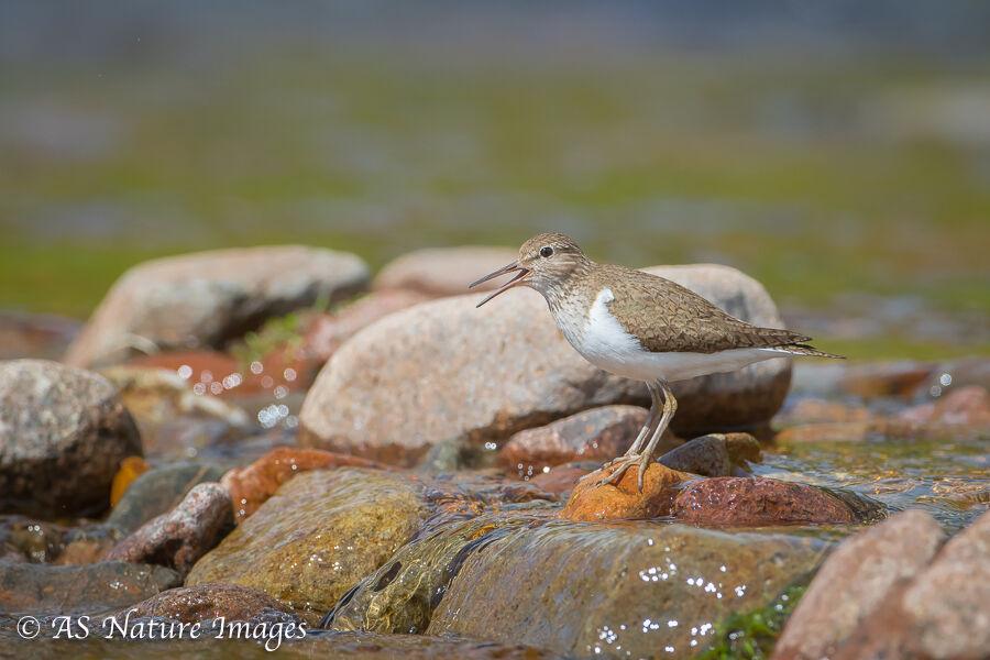 Common Sandpiper on Rocky Stream