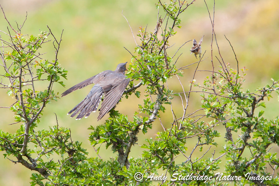 Cuckoo being Mobbed by Male Whinchat