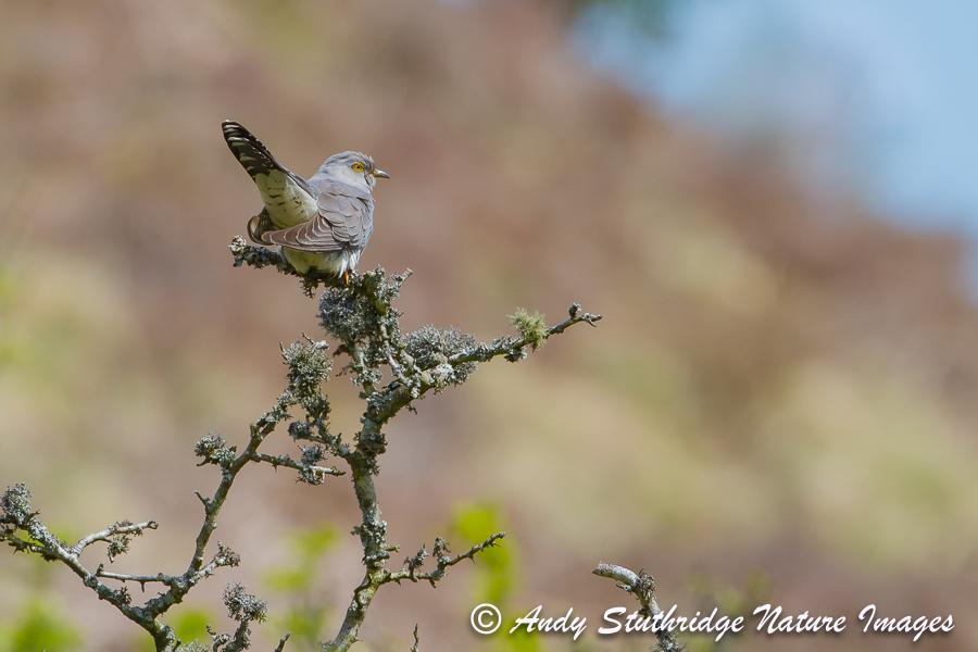 Cuckoo in Moorland Tree