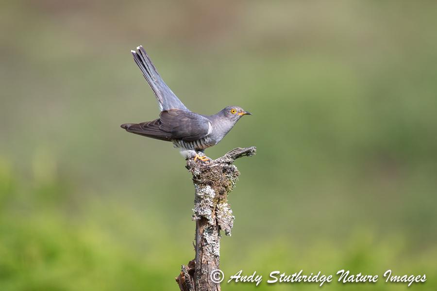 Cuckoo on Post 2