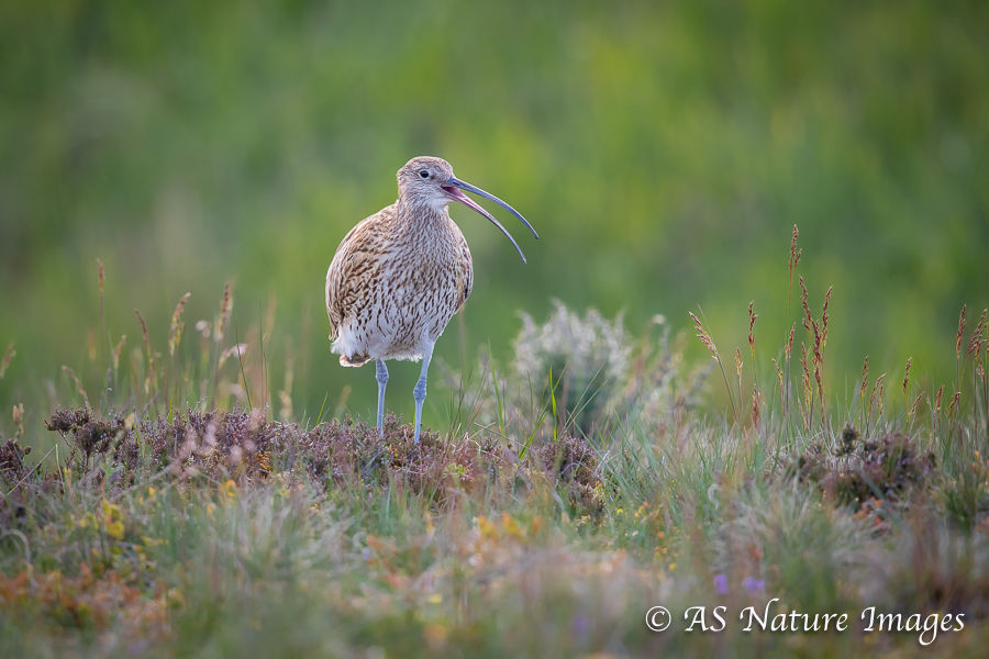 Curlew Calling in Upland Meadow