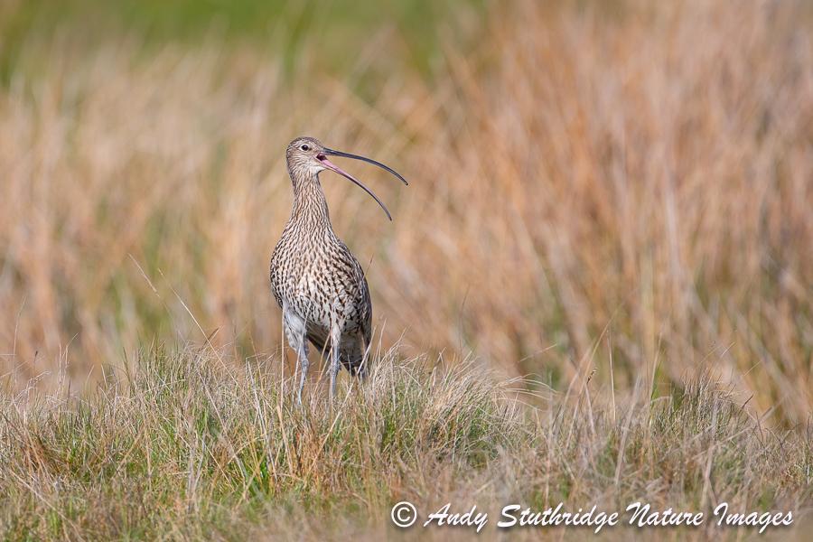 Curlew Calling in Moorland Pasture