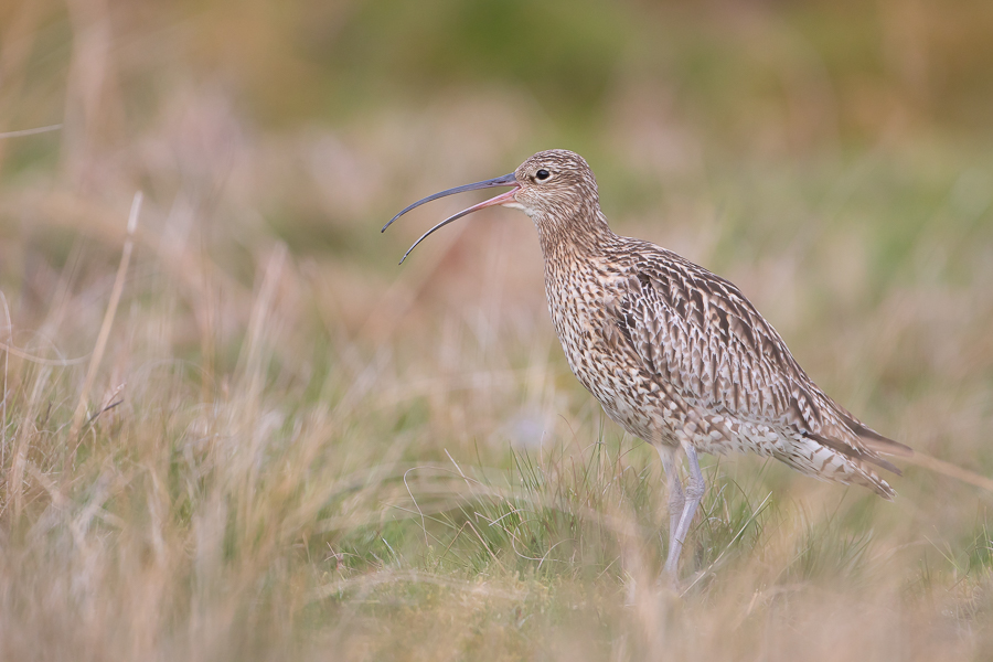 Curlew Calling in Moorland Pasture 3