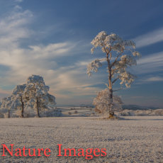 HOAR FROST AND SCOTS PINE,TIVERTON,DEVON
